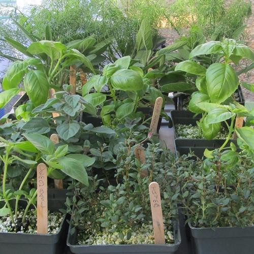 bacons-herbs-fernandina-02-2013