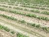 green-beans-boatright-farms2016