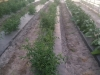 rows-tomatoes-crop