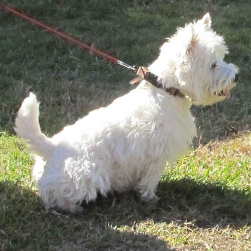 nov10-2012little-shaggy-white-dog