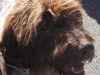 11-24-12-shaggy-brown-dog