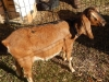 aruba-the-goat.JPG