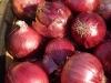 big-red-onions