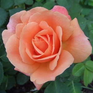 Florida Rose Expert Comes to Farmers Market