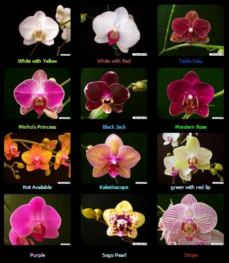 orchids-jaxma-jacksonville