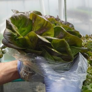 hydroponic-lettuce-bacons2015