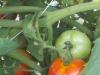 500-tomato-crop