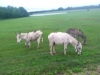 donkey-crop
