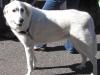 11-24-12-white-dog