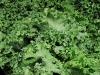 bacons-lettuce-jpg