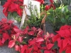 0500-poinsettias-12-12