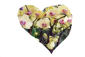 orchid2-heart
