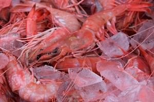 red-royal-shrimp